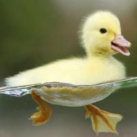 ¿Qué pasa si compite un pato y otro pato?