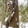 Arborvitae Essential Oil Meditation