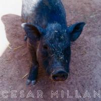 Cesar Milan Under Investigation For Animal Cruelty