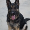 Personal Protection Dogs For Sale